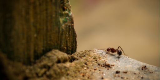 Everything You Need to Know About Common Australian Ants